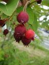 ジューンベリー 大実 バレリーナ ポット苗 落葉樹 シンボルツリー 果樹苗木 果樹苗