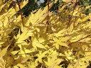 モミジ 美峰 (ビホウ) 根巻き苗 庭木 落葉樹 シンボルツリー もみじ 苗