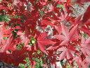 イロハモミジ 根巻き苗 庭木 落葉樹 シンボルツリー もみじ 苗