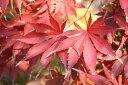 モミジ 奥州紅 ( オウシュウベニ ) 根巻き苗 庭木 落葉樹 シンボルツリー もみじ 苗