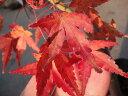 モミジ 桂モミジ (カツラモミジ) ポット苗 庭木 落葉樹 シンボルツリー もみじ 苗