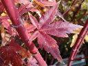 モミジ サンゴカク ポット苗 庭木 落葉樹 シンボルツリー もみじ 苗