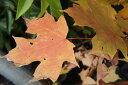 サトウカエデ ポット苗 庭木 落葉樹 シンボルツリー もみじ 苗