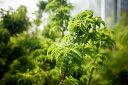 モミジ 獅子頭 (シシガシラ) 根巻き苗 庭木 落葉樹 シンボルツリー もみじ 苗