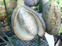 甘くておいしい果実です! 五葉アケビ