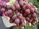 ブドウ 苗木 紅富士 ウィルスフリー1年生 接ぎ木 苗 果樹苗木 ぶどう 苗 果樹苗