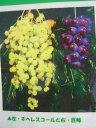 【ブドウ苗木】ネヘレスコール ウィルスフリー1年生接ぎ木苗 ぶどう