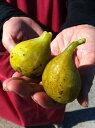 ■限定販売■ イチジク 苗木 ロングドゥート ( バナーネ ) 2年生 ロングスリット 鉢植え 果樹 果樹苗木