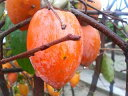 柿 ( カキ ) 苗 筆柿 1年生 接ぎ木 苗 果樹苗木 果樹苗