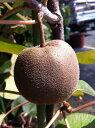 キウイ 苗 センセーションアップル (メス) 1年生 接ぎ木 果樹苗木 果樹苗