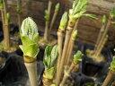 おうちで育てる健康山菜 入荷少なく見つけたら迷わず買いです。果樹苗木 コシアブラ  根巻き大苗