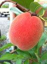 桃の苗木 ひめこなつ 1年生 接ぎ木 苗 果樹苗 もも
