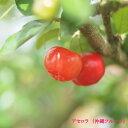 ■沖縄産■アセロラ ポット苗