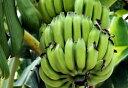 ■沖縄産■バナナ 三尺バナナ ポット苗 バナナ 苗 果樹苗木 熱帯果樹 【予約販売】【9月上旬頃お届け予定】
