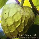 熱帯果樹 【森のアイスクリーム】 チェリモヤの木 ビッグシスター 接木苗 果樹苗 果樹苗木 常緑樹 【珍しい熱帯果樹】