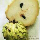 熱帯果樹 【森のアイスクリーム】 チェリモヤの木 エルバンポ 接木苗 果樹苗 果樹苗木 常緑樹 【珍しい熱帯果樹】