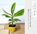 ■沖縄産■バナナ 三尺バナナ ポット苗