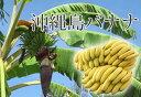 ■沖縄産■沖縄島バナナ 6号ポット苗
