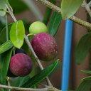 オリーブの木 シプレシーノ 2年生苗 シンボルツリー 庭木 常緑樹