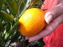 みかん 苗木 【 大津4号 】 温州みかん 1年生 接ぎ木 果樹 果樹苗木 柑橘