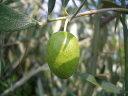 オリーブの木 ルッカ 2年生苗庭木 常緑樹 シンボルツリー オリーブ 苗 鉢植え 苗木
