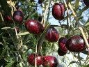 オリーブの苗木 オリーブの木 マンザニロ 3年生 ポット苗
