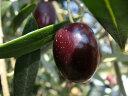 オリーブの木 ネバディエロブロンコ 2年生苗 庭木 常緑樹 シンボルツリー オリーブ 苗 庭木 常緑樹 鉢植え 苗木