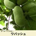 ポポー 苗 ワバッシュ 2年生 接ぎ木 苗 果樹 果樹苗木