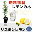 ■送料無料■ レモンの木リスボンレモン2年生 接ぎ木 苗6号スリット鉢植え 果樹苗木 レモン