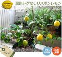柑橘類 苗木 ■送料無料■ ■掘り出しもの■ レモンの木選抜 トゲなしリスボンレモン 2年生 接ぎ木