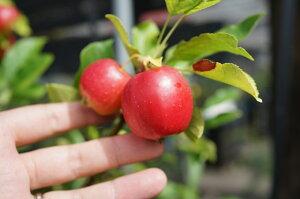 姫リンゴ アルプス シンボル