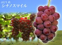 【 ブドウ 苗木 】 シナノスマイル ウィルスフリー 1年生 接ぎ木 苗 ぶどう
