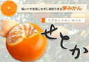 柑橘類 苗木 ■限定販売■ みかん みかんの木 トゲなし せとか 2年生 接ぎ木 ロングスリット鉢苗