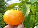 柑橘類 苗木 みかん 苗 青島温州みかん 2年生 接ぎ木 果樹苗木 果樹苗 ミカン 蜜柑 カンキツ