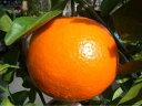 オレンジ 苗木 【 いよかん 】 2年生 接ぎ木 苗 柑橘 果樹 果樹苗木