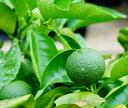 ゆず 苗木 【 種無しカボス 】 2年生 接ぎ木 ポット苗 柑橘 果樹 果樹苗木