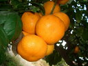 鏡餅の上のお飾りに使いたい果樹苗木 お正月のお飾り葉みかん2年生接木苗