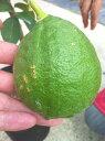 柑橘類 苗木 レモンの木 ジャンボレモン 2年生 接ぎ木 苗 果樹苗木 果樹苗 れもん 檸檬 柑橘 レモン 苗木 カンキツ