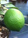 レモン 苗木 【 ラフマイヤー 】 2年生 接ぎ木 れもん 檸檬 柑橘 レモン 柑橘 果樹 果樹苗木