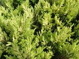 春から秋は鮮やかなライムイエロー、冬はオレンジ色の葉色コニファー ライムグロウ 5号ポット苗 庭木 グランドカバー
