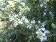 ハーブの苗 ローズマリー 在来種 ポット苗 グランドカバー 生垣