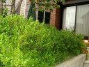 ボックスウッド生垣用ポット苗 生垣 目隠し 庭木 常緑樹