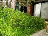 ボックスウッド生垣用ポット苗 庭木 常緑樹 生垣 目隠し