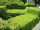 ボックスウッド 生垣用 根巻き苗 庭木 常緑樹 生垣 目隠し