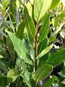香りの良い月桂樹 苗 ローリエポット苗 シンボルツリー 生垣 目隠し 庭木 常緑樹
