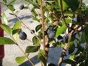 ギンバイカ(ミルタス)ポット苗 生垣 目隠し 低木 庭木 常緑樹