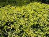 ゴールデンジェム5号ポット苗 庭木 常緑樹 グランドカバー
