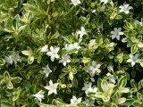 グランドカバーにおすすめ斑入りハクチョウゲポット苗 庭木 常緑樹 生垣 目隠し グランドカバー 低木