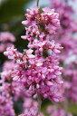 赤花ハナズオウ根巻き苗庭木落葉樹低木