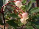 赤花ヒメイチゴノキ(ストロベリーツリー) ポット苗 低木 低木 庭木 常緑樹
